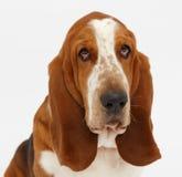 Hond, basset geïsoleerde hond, Royalty-vrije Stock Foto
