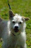 Hond: Bastaard Stock Afbeeldingen