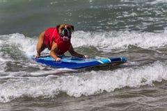 Hond berijdende golven op surfplank Stock Fotografie