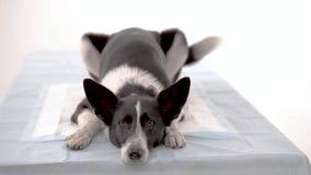 Hond bij de dierenartskliniek stock videobeelden