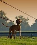 Hond bij het lopen Royalty-vrije Stock Foto's