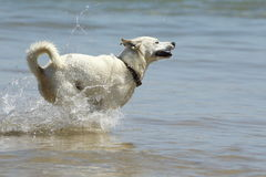 Hond bij het strand Royalty-vrije Stock Fotografie