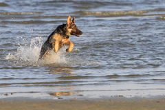 Hond bij het strand Royalty-vrije Stock Foto's