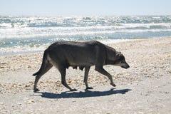 Hond bij het strand Stock Afbeeldingen