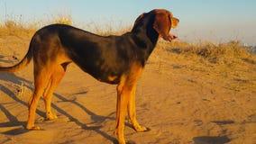 Hond bij het strand die gelukkig voelen stock videobeelden