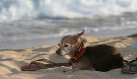 Hond bij strand met sandla Royalty-vrije Stock Foto