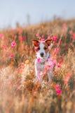 Hond in bloemen Jack Russell Terrier Royalty-vrije Stock Foto's