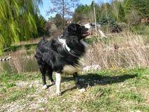 Hond border collie Stock Afbeeldingen