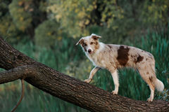 Hond border collie Royalty-vrije Stock Fotografie