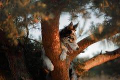 Hond border collie op een boom Royalty-vrije Stock Afbeeldingen