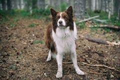 Hond in bos bruin border collie in het bos stock foto