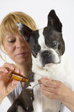 Hond Boston Terrier bij dierenarts Stock Afbeeldingen