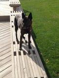 Hond buiten het Stellen Stock Foto's