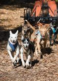 Hond-Carting stock foto's