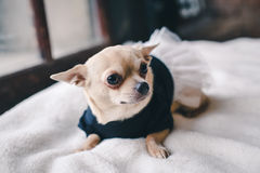 Hond in comfortabele kleding Stock Afbeelding