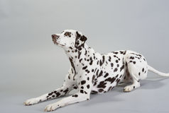 Hond Dalmatian Royalty-vrije Stock Afbeelding