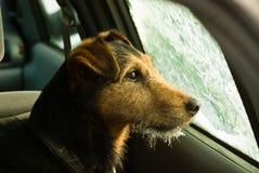 Hond in de auto Stock Foto