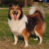 Hond, de herdershond van Shetland royalty-vrije stock foto