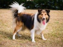 Hond, de herdershond van Shetland royalty-vrije stock afbeeldingen