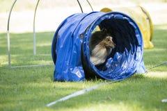 Hond, de Herdershond van Shetland, die behendigheidstunnel doornemen royalty-vrije stock fotografie