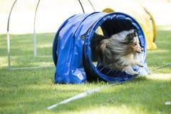 Hond, de Herdershond van Shetland, die behendigheidstunnel doornemen royalty-vrije stock foto's