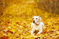 Hond in de herfst Stock Foto's