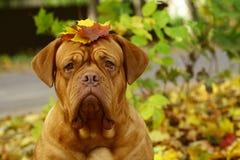 Hond in de herfstbladeren. stock foto