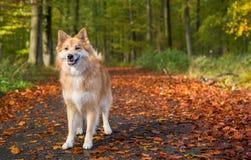 Hond in de herfstbos Royalty-vrije Stock Fotografie