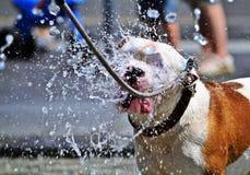 Hond in de hete zomer Stock Afbeelding