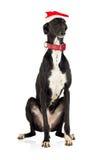 Hond in de hoed van Kerstmis op wit Royalty-vrije Stock Afbeeldingen
