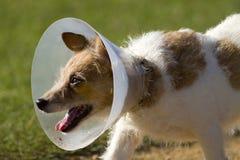 Hond in de Kraag van de Kegel van de Hals Stock Afbeelding