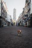 Hond in de oude stad van Utrecht en op de achtergrond Dom Tower Stock Afbeelding