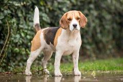 Hond in de Regen Stock Foto's