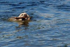 Hond in de rivier stock fotografie