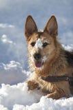 Hond in de sneeuw Stock Foto's