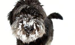 Hond in de sneeuw Stock Foto