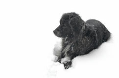 Hond in de Sneeuw die Linker kijkt Stock Afbeelding
