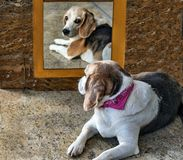 Hond in de spiegel stock fotografie