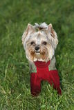 Hond, de terriër Stock Foto's