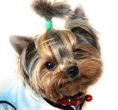 Hond, de Terriër van Yorkshire Royalty-vrije Stock Foto's