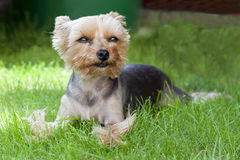 Hond - de terriër van Yorkshire Royalty-vrije Stock Fotografie