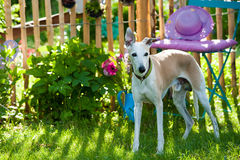 Hond in de Tuin Stock Foto