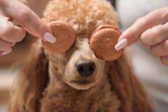 Hond De vrouwelijke makarons van de handengreep Royalty-vrije Stock Afbeeldingen