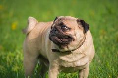 Hond in de weide Royalty-vrije Stock Fotografie