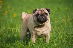 Hond in de weide Royalty-vrije Stock Foto