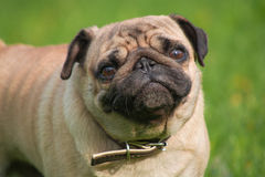 Hond in de weide Royalty-vrije Stock Afbeeldingen