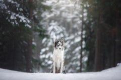 Hond in de winter door de bomen Huisdier in de sneeuwval Border collie in aard stock foto's