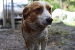 Hond die aan fotograaf kijken Slighly droevige ogen stock foto