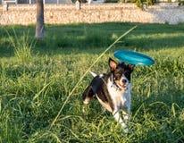 Hond die achter een frisbee in de tuin lopen stock afbeelding