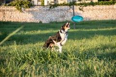 Hond die achter een frisbee springen stock foto